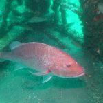 Red snapper season for Gulf and federal waters ends soon