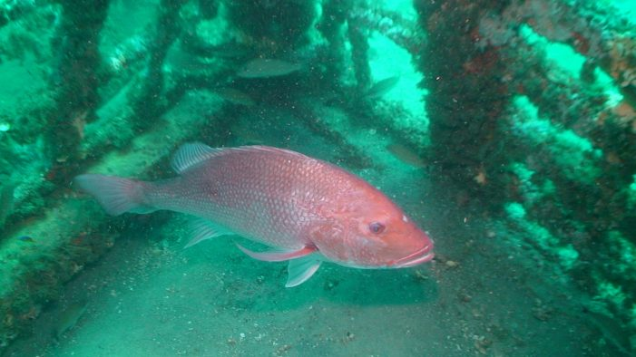 Gulf waters, additional recreational red snapper fishing days