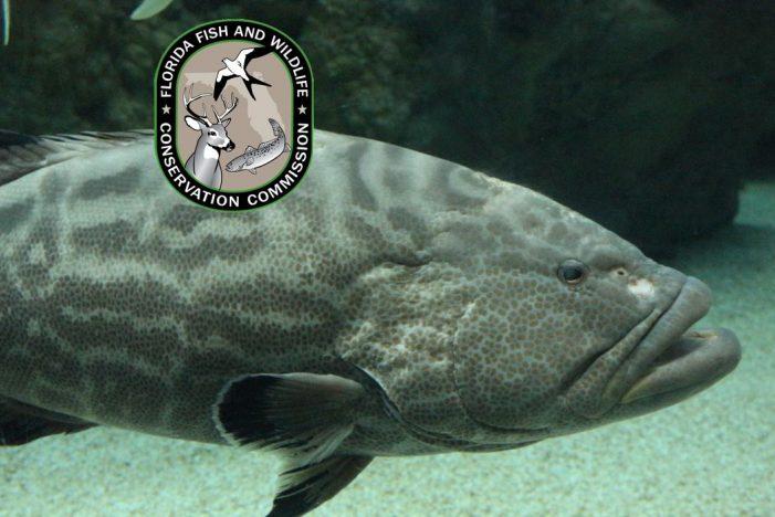 Gag grouper fall season opens in Gulf 4-county region
