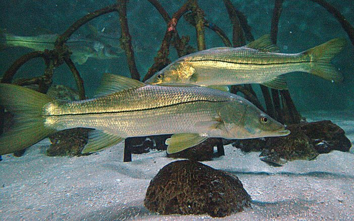 Snook season is approaching, what you need to know