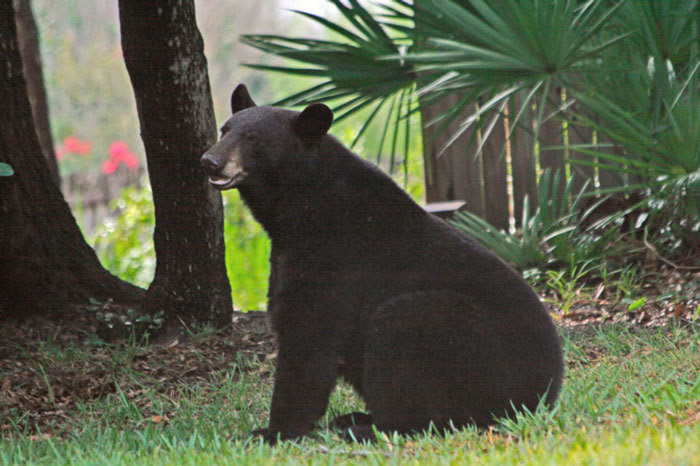 Watch for bears, bear crossing, citrus county news, citrus gazette, FWC