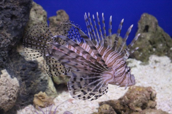 Lionfish Challenge winners, facts and myths about the fish