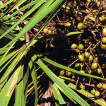 Picking saw palmetto berries could get you arrested in Florida