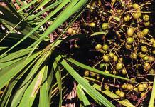 florida, saw palmetto berries,