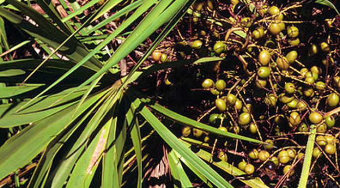 florida, saw palmetto berries,