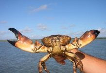 stone crab regulations, citrus gazette