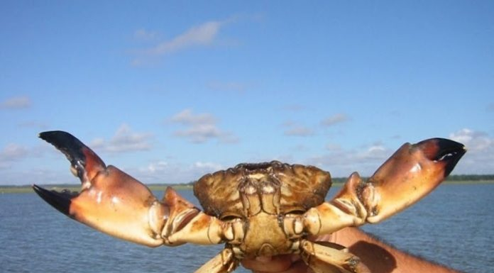 stone crab regulations, citrus gazette