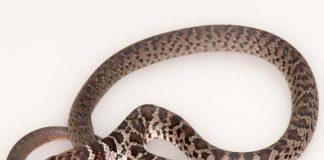 two-headed snake, citrus gazette, florida