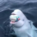 Beluga whale plays fetch with boaters tossing rugby ball